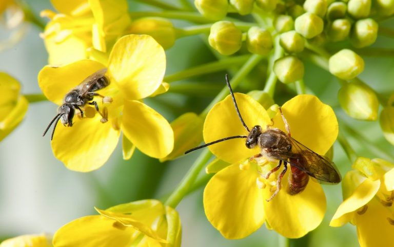 Native Bees in the Permaculture Garden