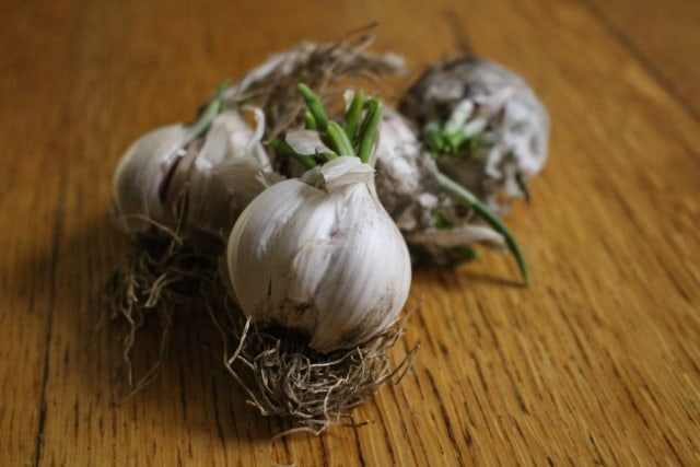 What to do with shooting garlic