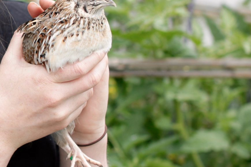 Pip Podcast #2: Keeping quails with Kat Lavers