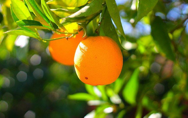 Pruning citrus orange