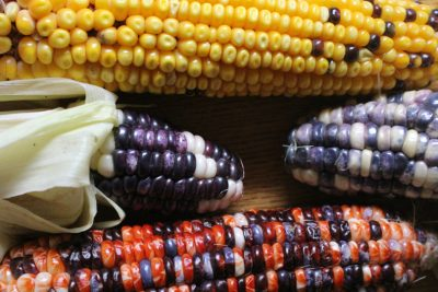 How to Grow Corn: Sweet, Flour and Popping