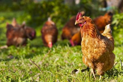 Breeding your own Backyard Chickens