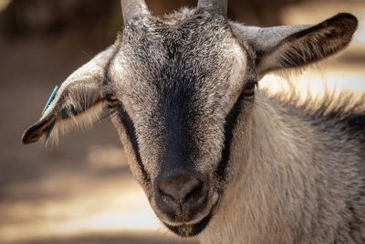 3 Benefits of Keeping Backyard Goats