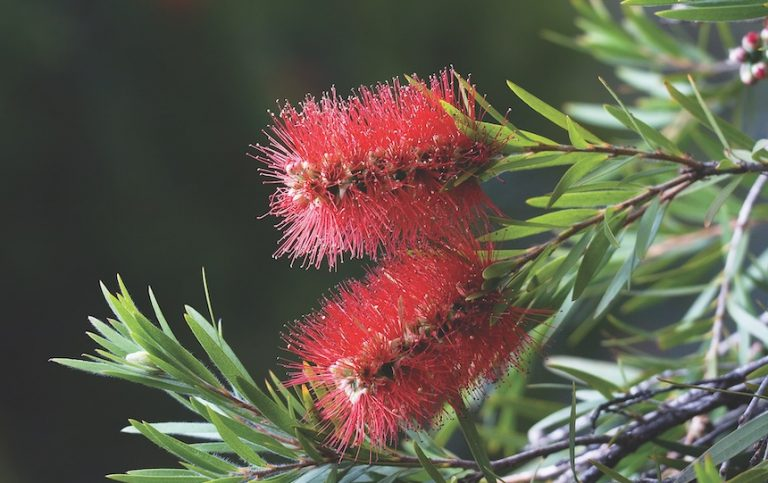 5 Australian Natives To Grow in a Food Forest callistemon