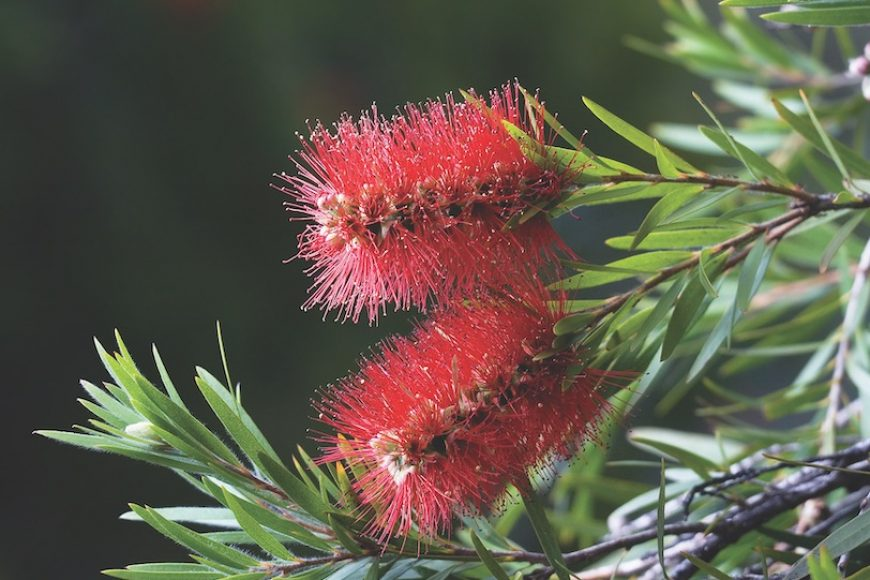 5 Australian Natives To Grow in a Food Forest