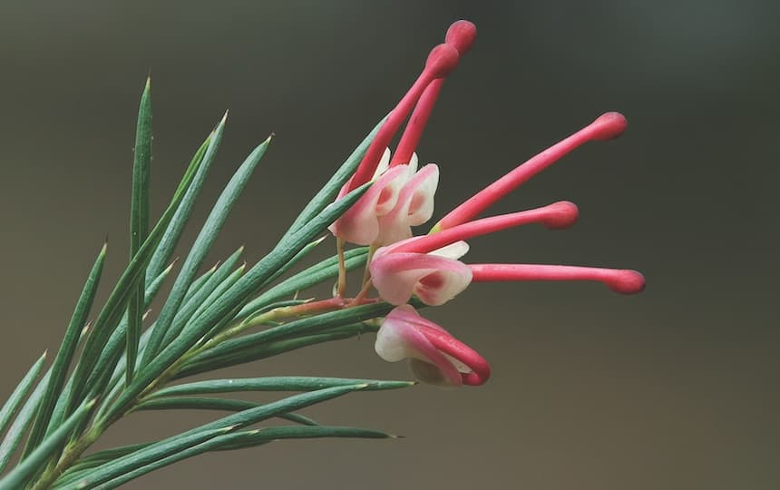 5 Australian Natives To Grow in a Food Forest grevillea