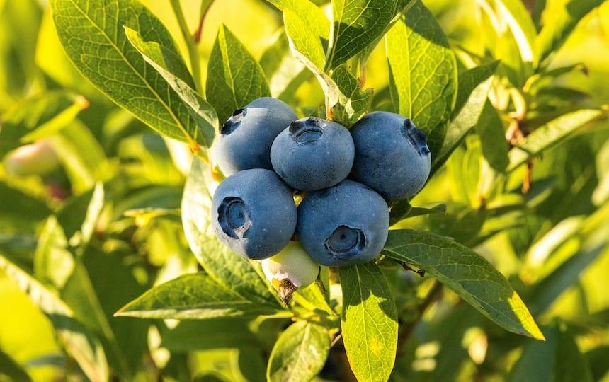 Planting-Berries-Summer-Harvest-Blueberries