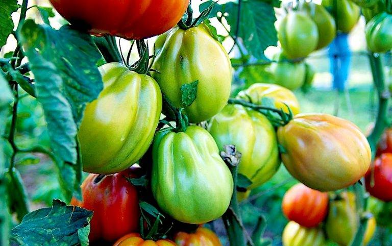 What Kind of Tomatoes Should I Grow?